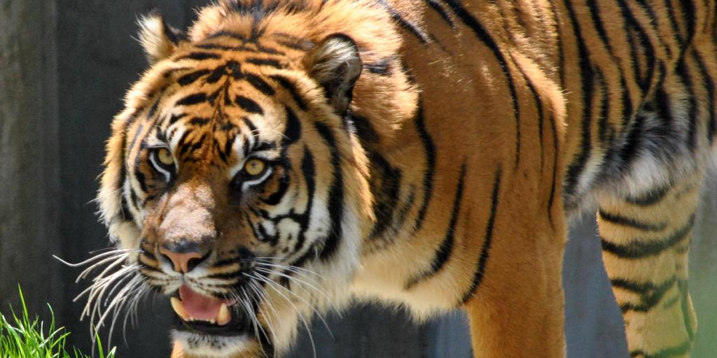 Human activity puts tigers at risk of losing their habitat