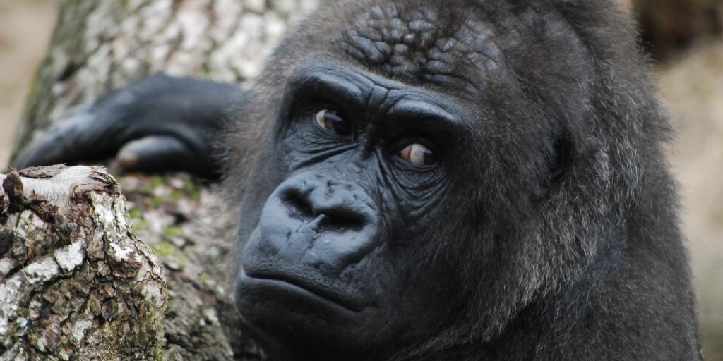 gorilla habitat is at risk due to loss of habitat