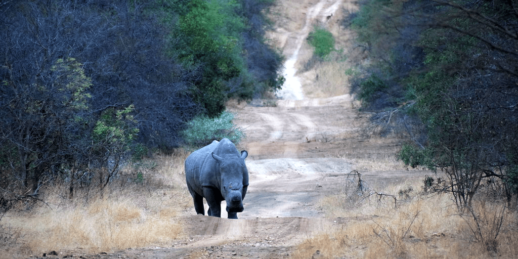 Rhino standing on a dirt road watching the field guides.