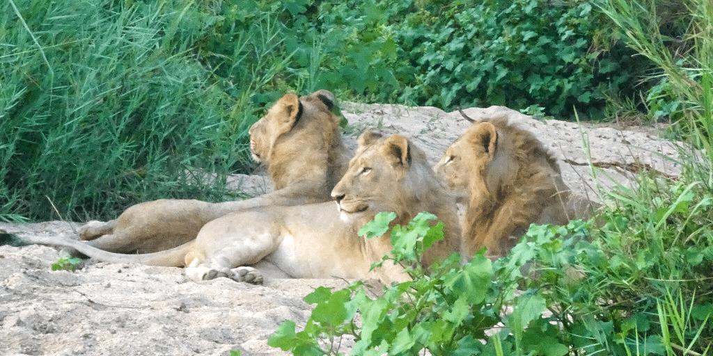 Lion pride in the African savanna