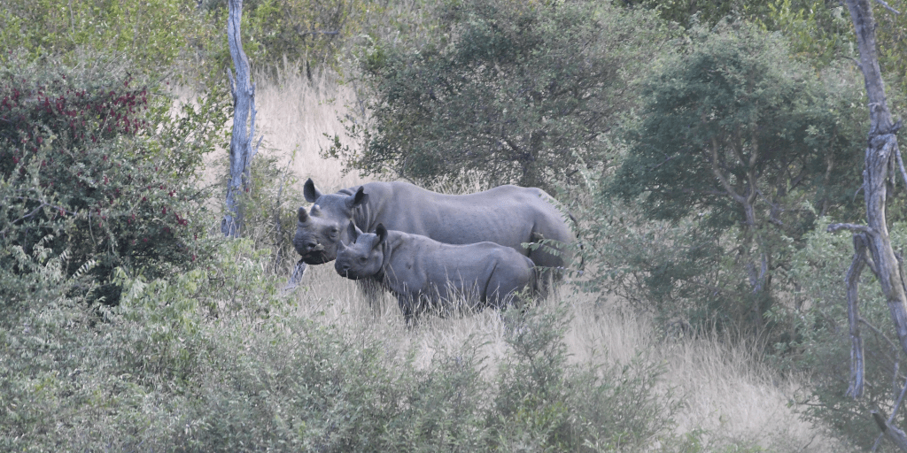 Rhinos spotted on field drive.
