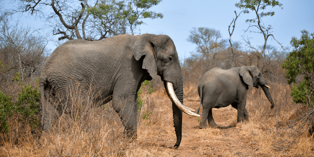 Which African elephant facts are key in conservation