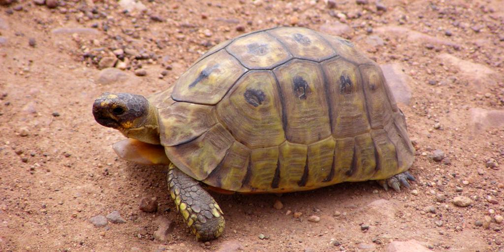 A land-dwelling type of tortoise.
