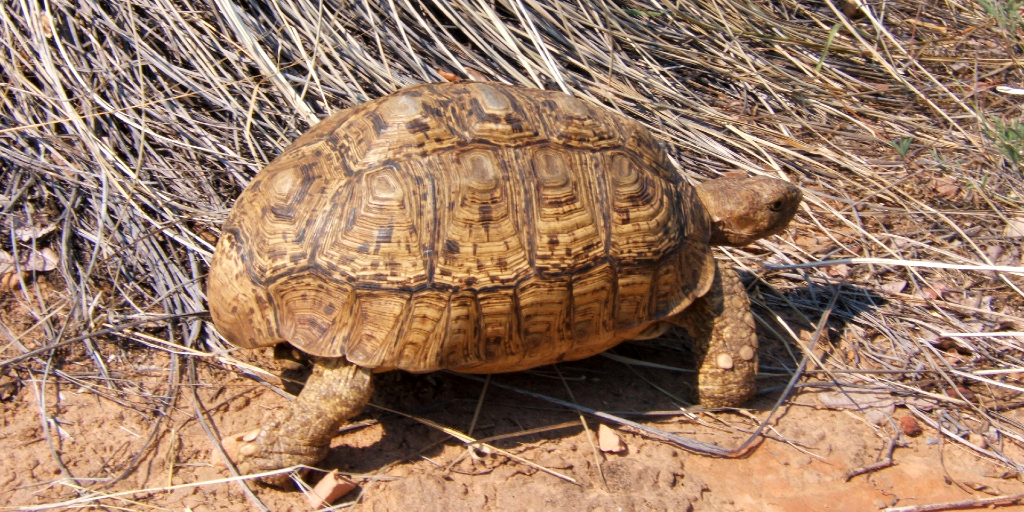 A tortoise in its natural habitat.