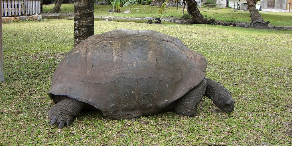 A tortoise eats grass.