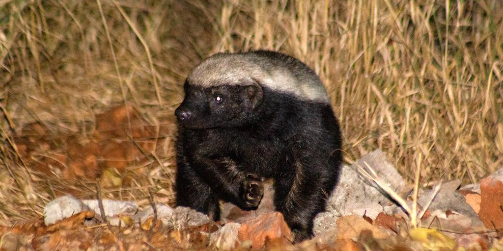 Honey badger around the campus