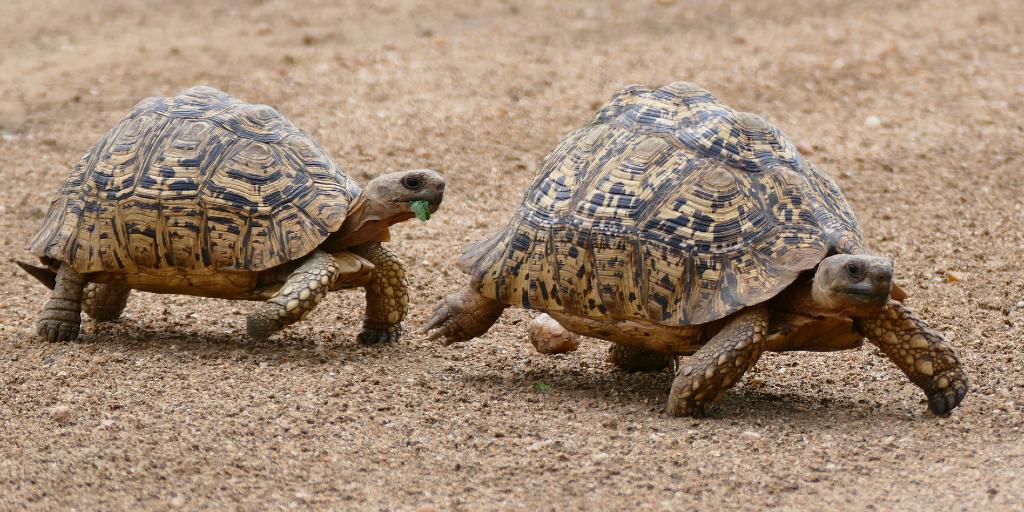 Leopard tortoises are the fastest tortoises