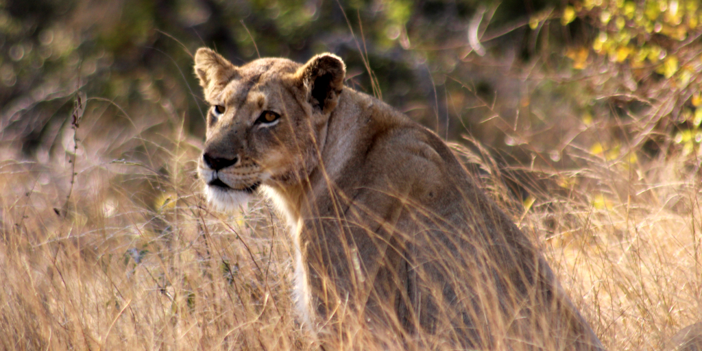 Lioness watching the field guides