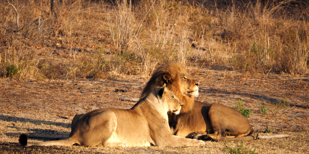 A male and female African lion bask in the sun.
