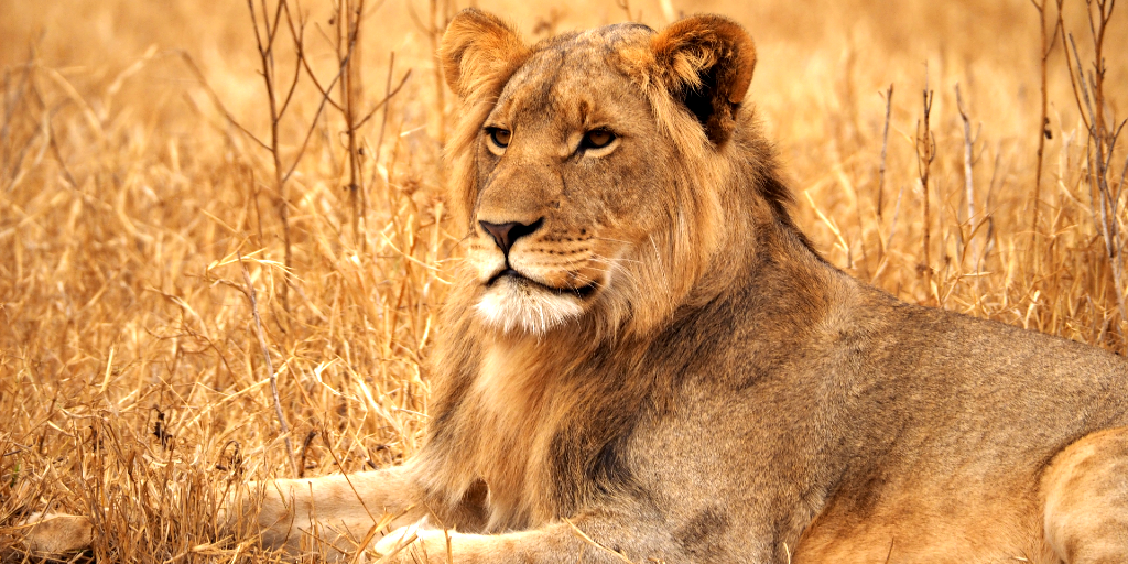 A young male african lion.