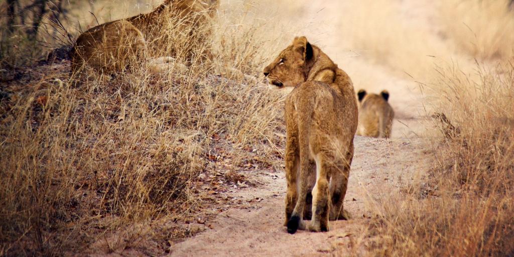 An African lion takes a walk.