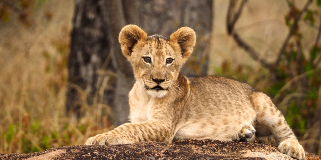 A baby African lion rests on a rock.
