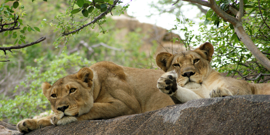 World lion day helps to highlight the conservation status of lions.