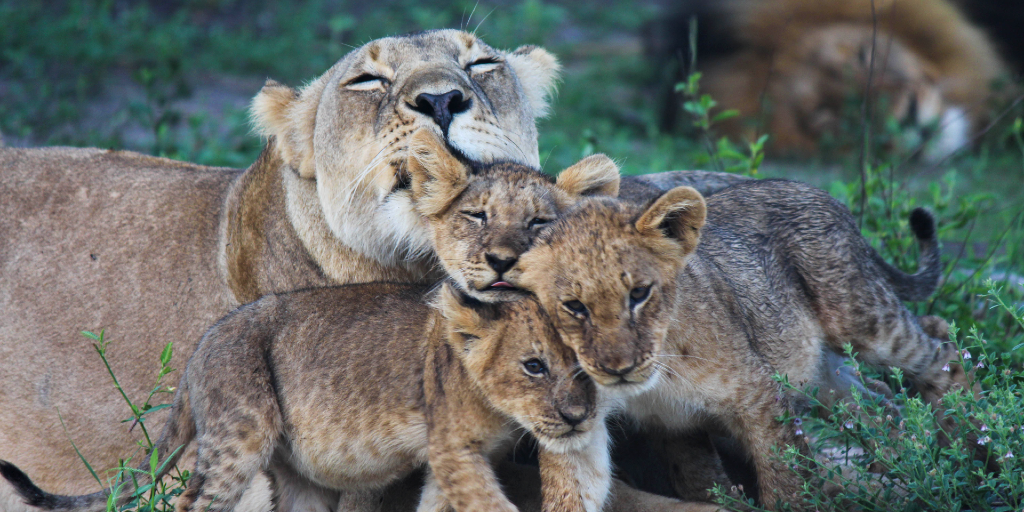 Interesting facts about lions and World Lion Day