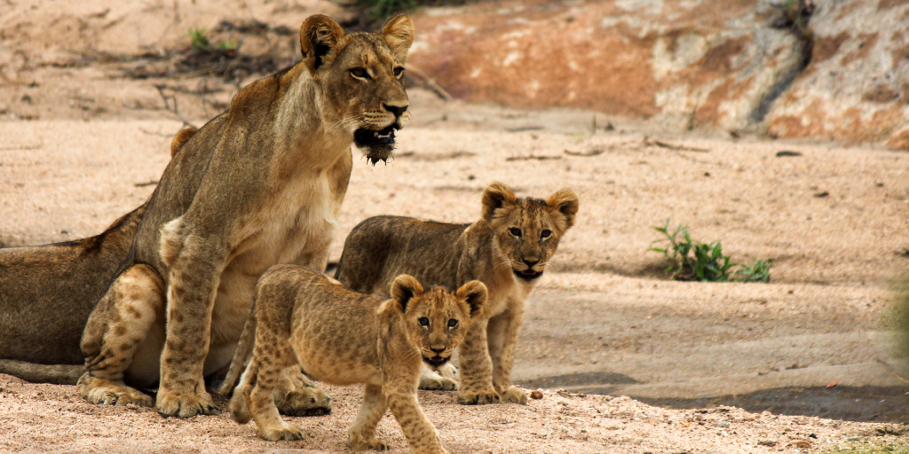 African lions in the wild.