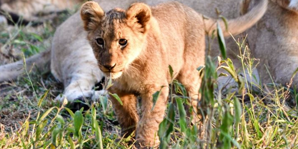 Baby lions are called whelps or lionets.