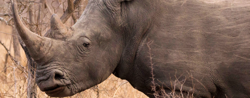 Black rhinos and white rhinos have smaller skin folds, which makes the skin look smoother.