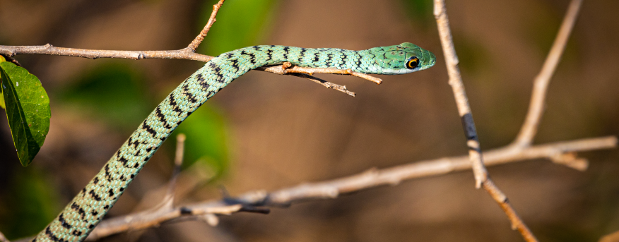 A bush snake spotted on the Bushwise campus.