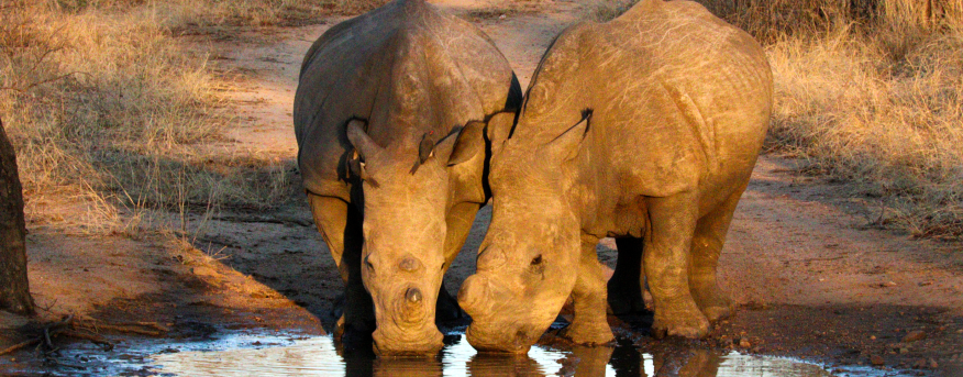 Rhino's drinking water.