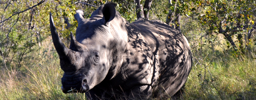 There are many rhino species around the world that are endangered.