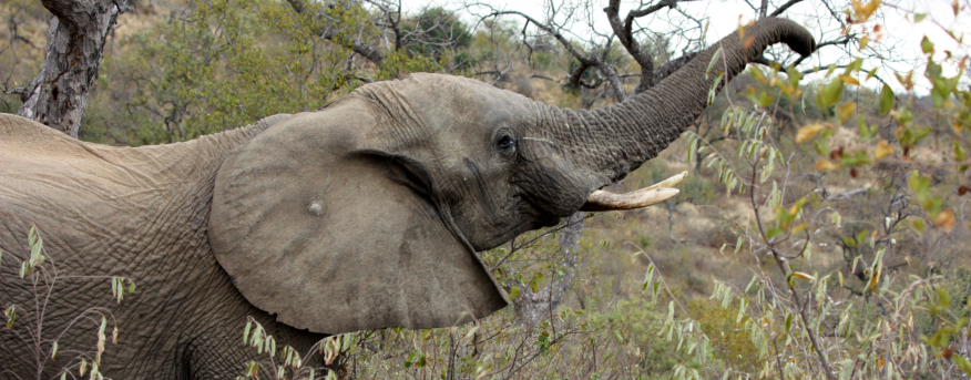An elephant eating leaves from a tree.