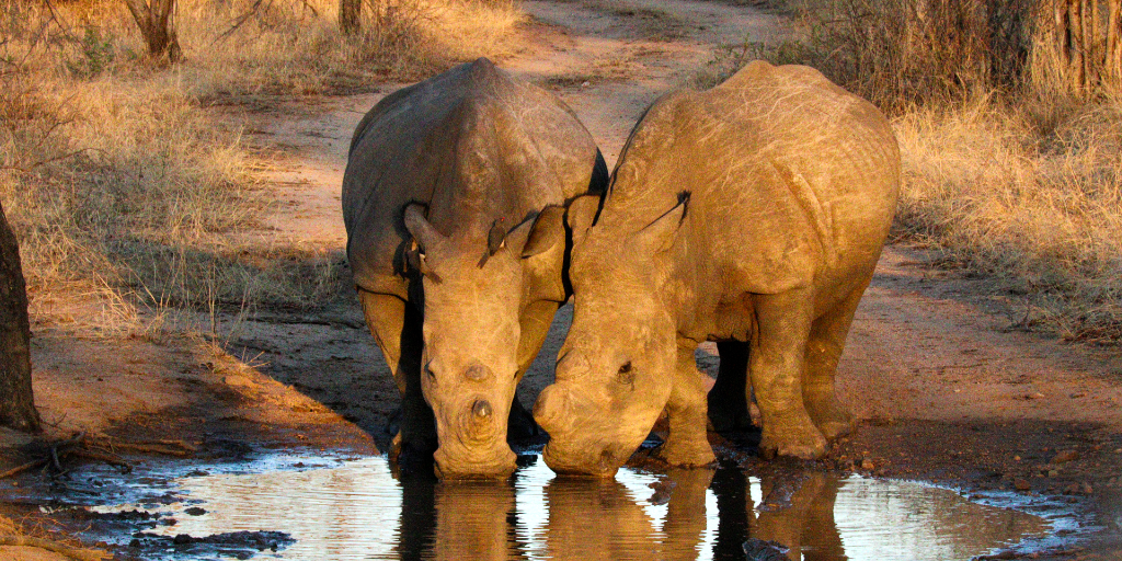 Two rhinos drinking water.