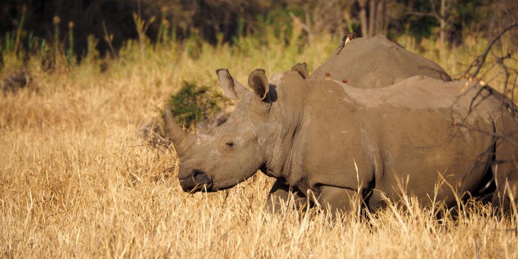 A rhino walks through the grasslands.