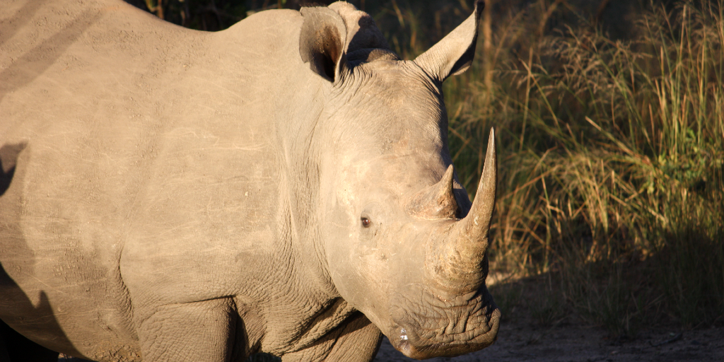 A rhino's have a steely gray skin colour.