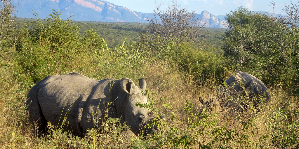 Rhinos are megaherbivores and are able to shape the environment they live in.
