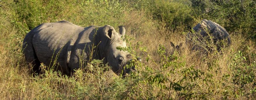 African rhinos eating grass.