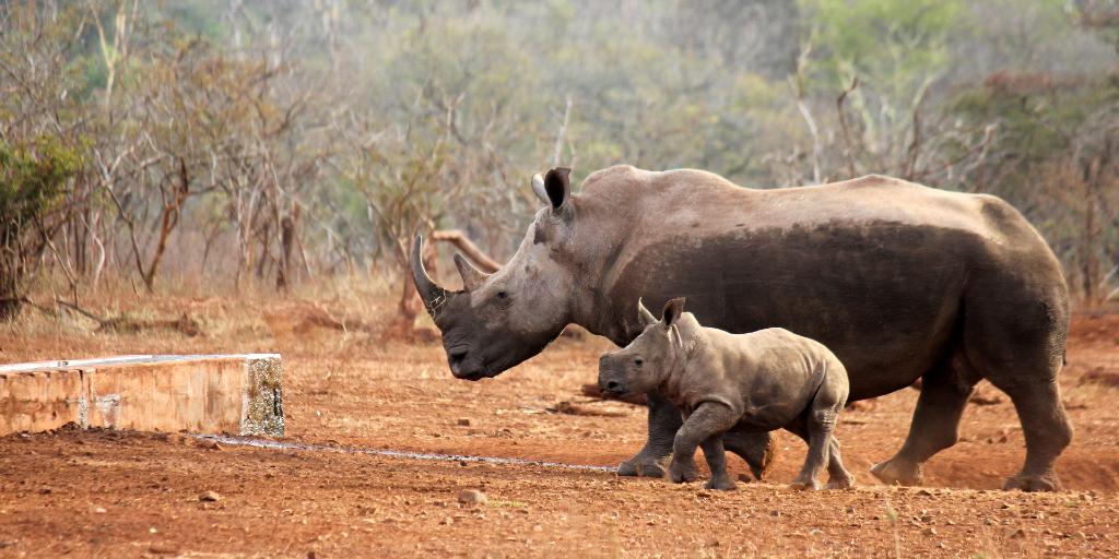 Ten interesting rhino facts