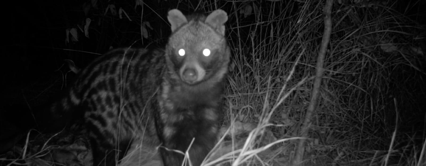 An African civet spotted in the camera trap.