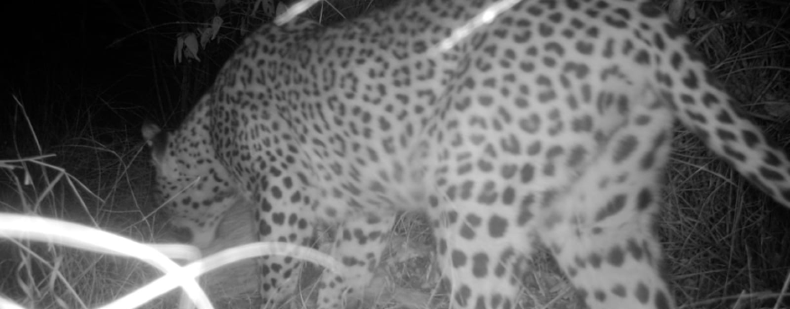 A leopard was spotted on the camera trap.