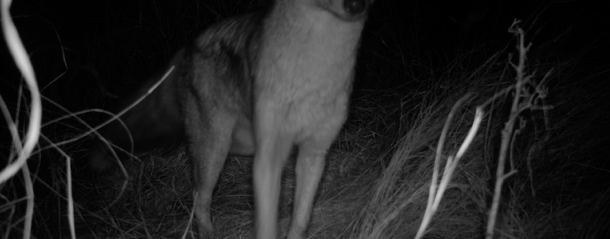 A side-striped jackal was also spotted in the camera trap.